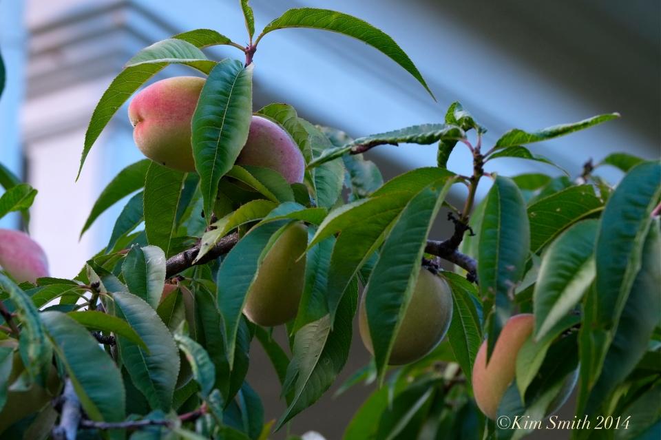 Belle of Georgia peach -2 ©Kim Smith 2014.j