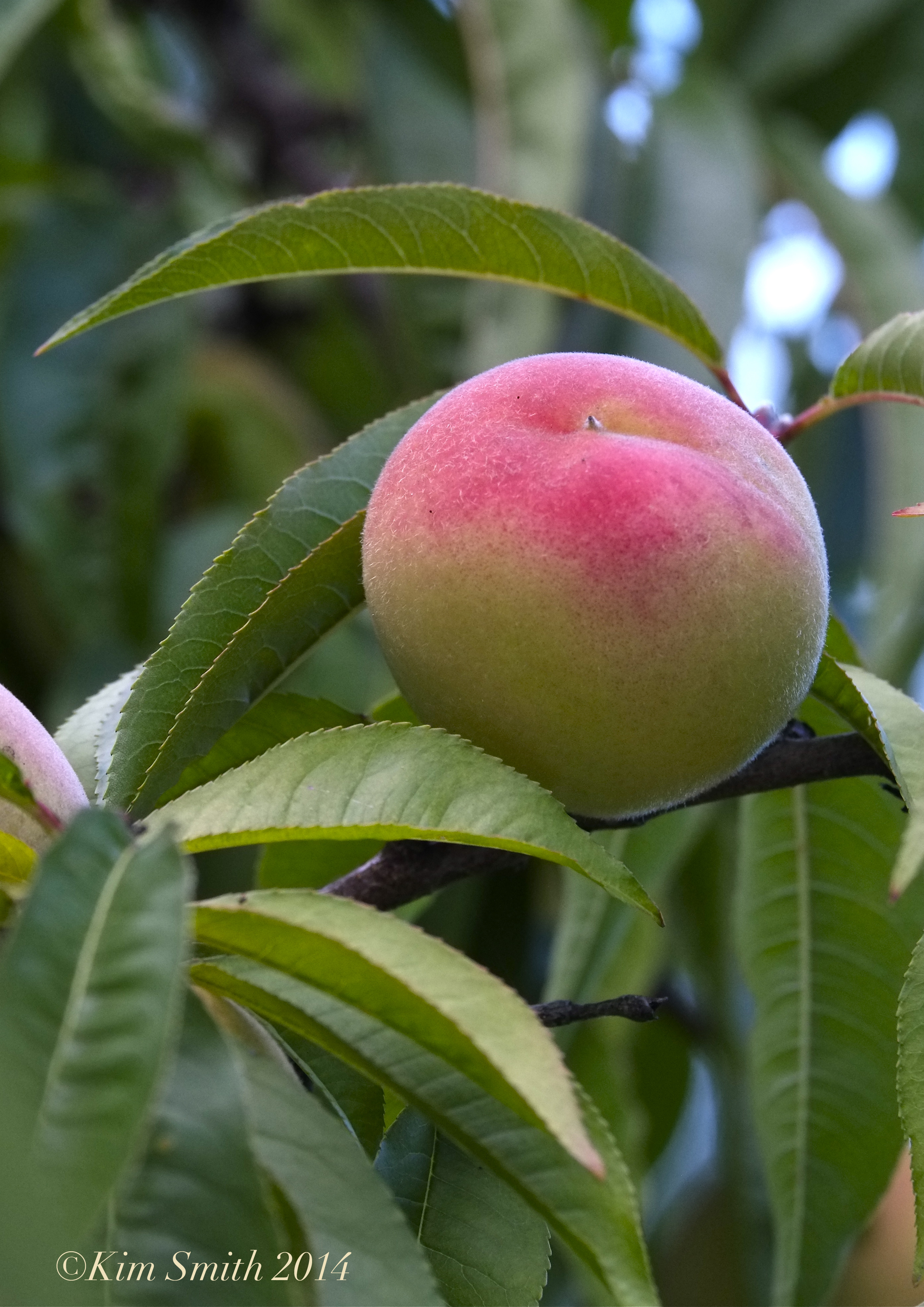 belle of georgia peach | Kim Smith Designs