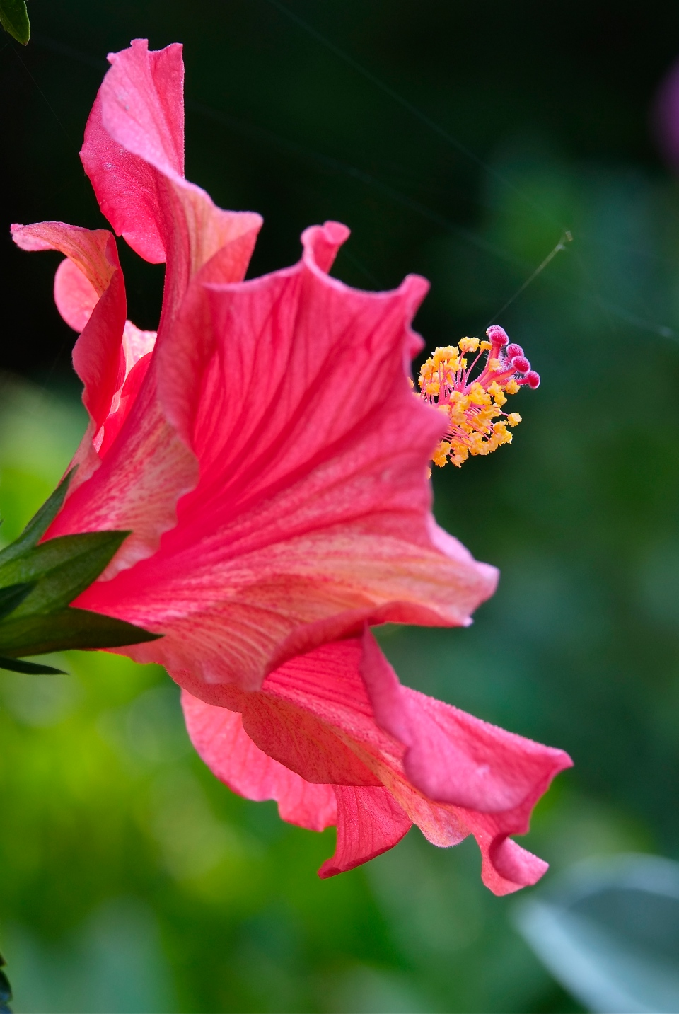 Hibiscus ©Kim Smith 2014jpg