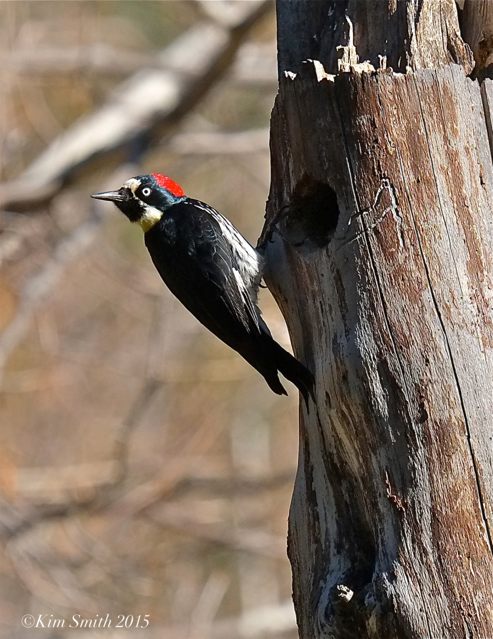 Acorn Woodpecker Solstice Canyon Southern California ©Kim Smith 2015