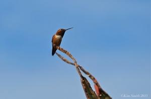 Allen's Hummingbird Male  ©Kim Smith 2015