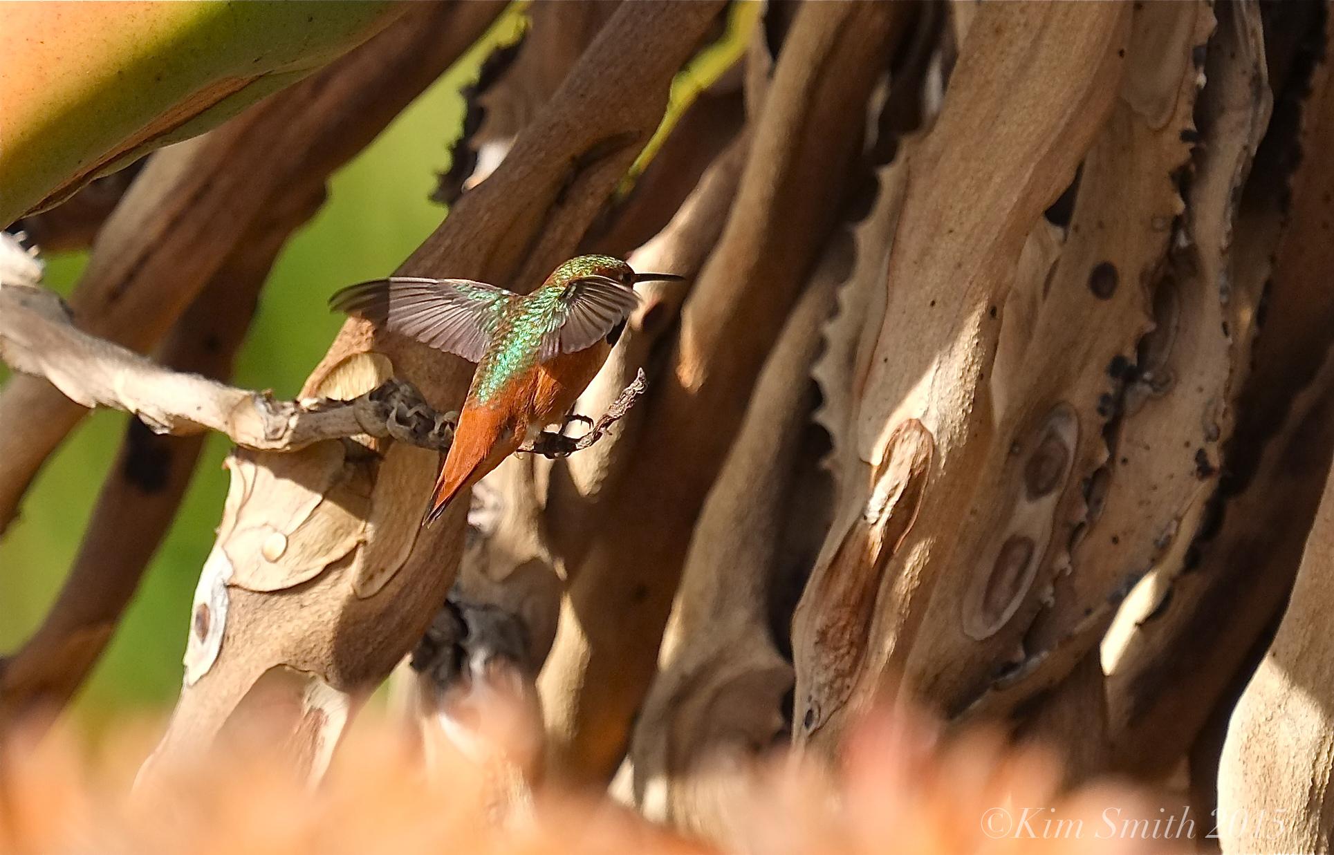 Allen's Hummingbird Male iridescent wings ©kim Smith 2015