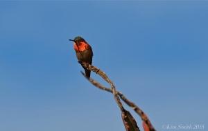 Allen's Hummingbird Red Gorget Male ©Kim Smith 2015JPG