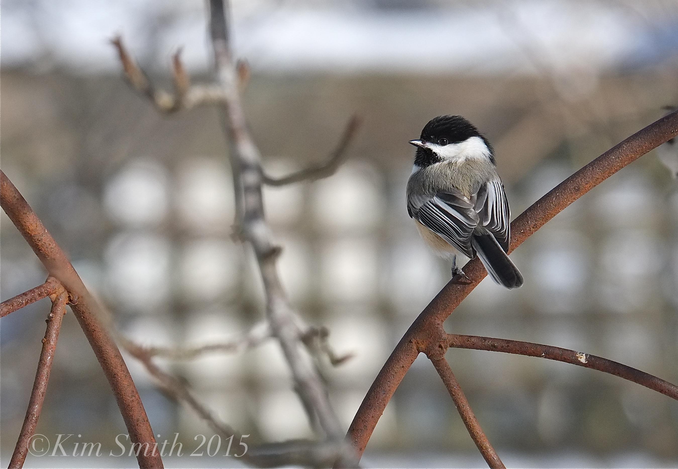 Massachusetts State Bird Kim Smith Designs