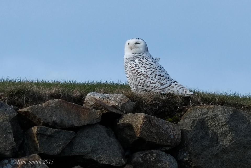 Juvenile Snowy Owl  Gloucester Massachusetts. ©Kim Smith 2015