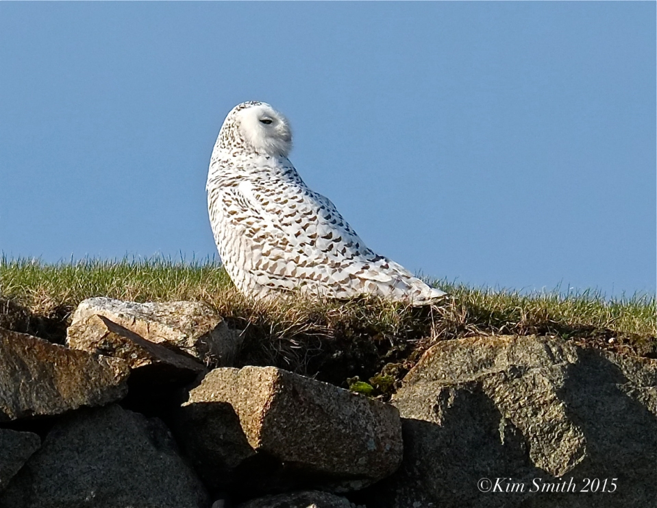 Snowy Owl Gloucester Massachusetts ©Kim Smith 2015