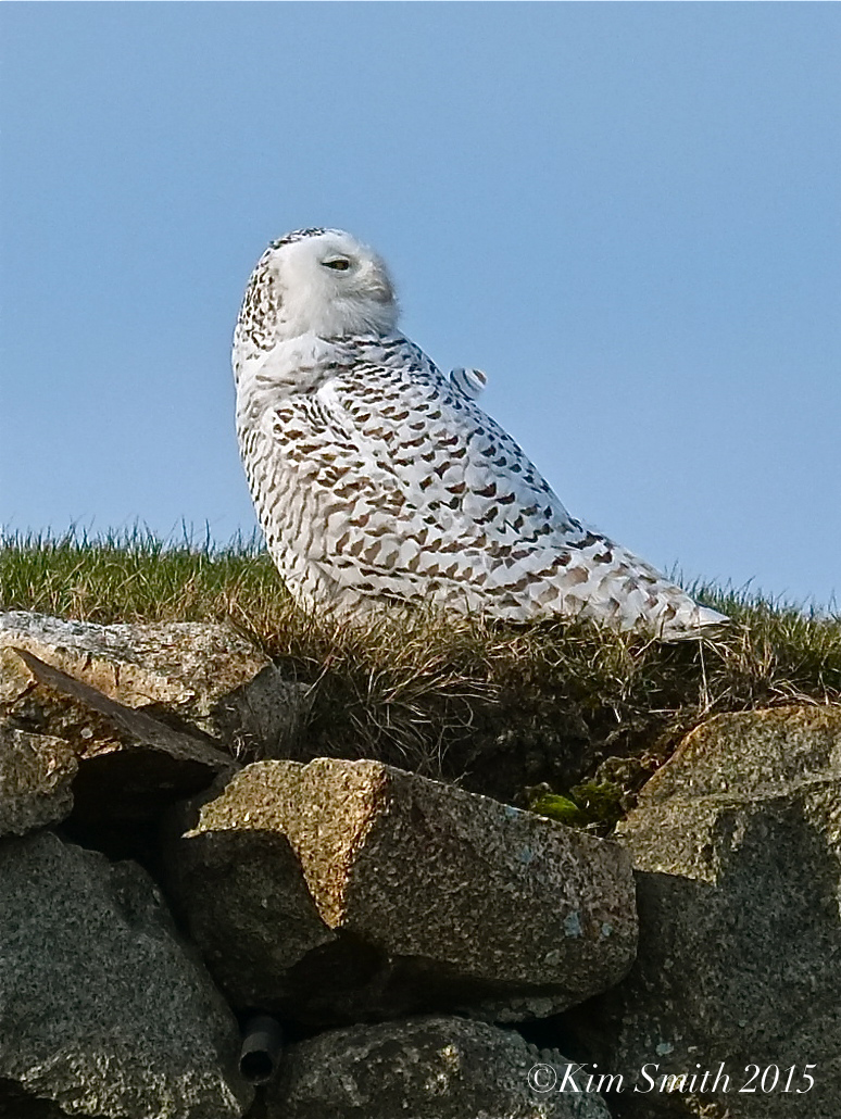 Snowy Owl Gloucester Massachusetts January ©2015 Kim Smith