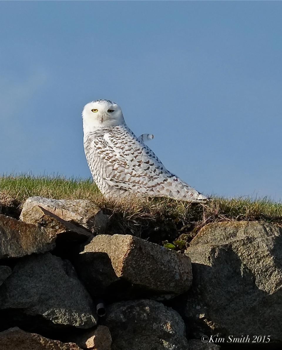 Snowy Owlet East Gloucester Massachusetts. ©Kim Smith 2015