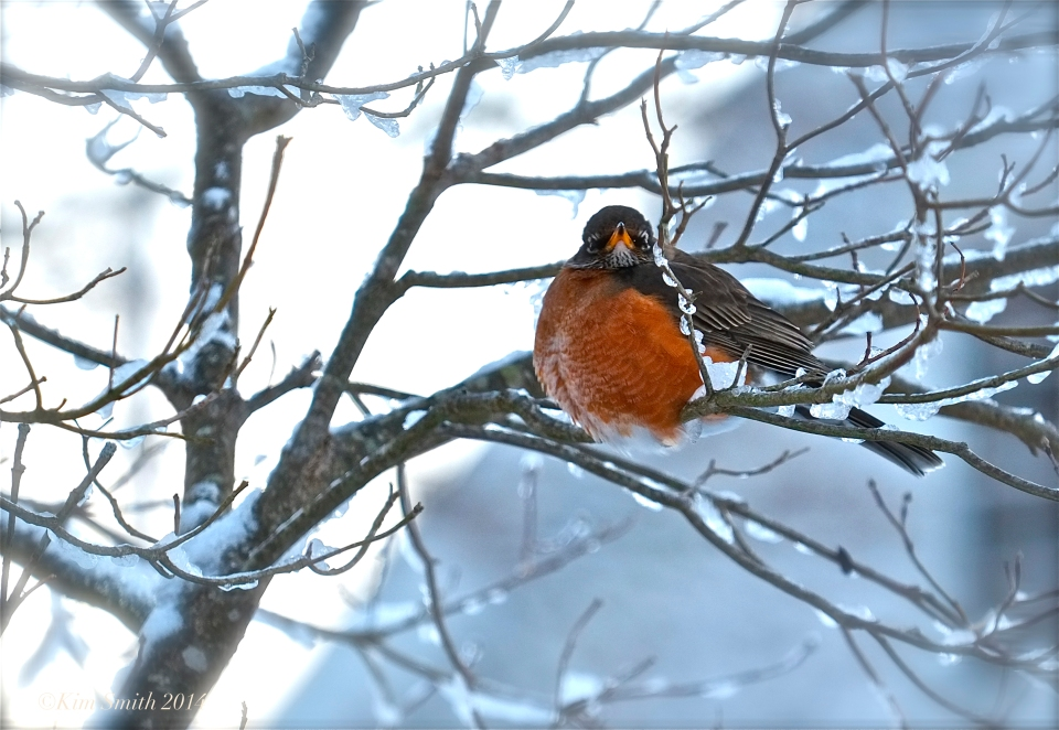 American Robin in the Snow ©Kim Smith 2014