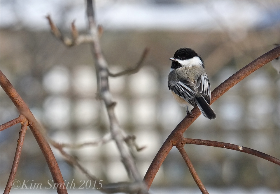 Black-capped Chicadee ©Kim Smith 2015