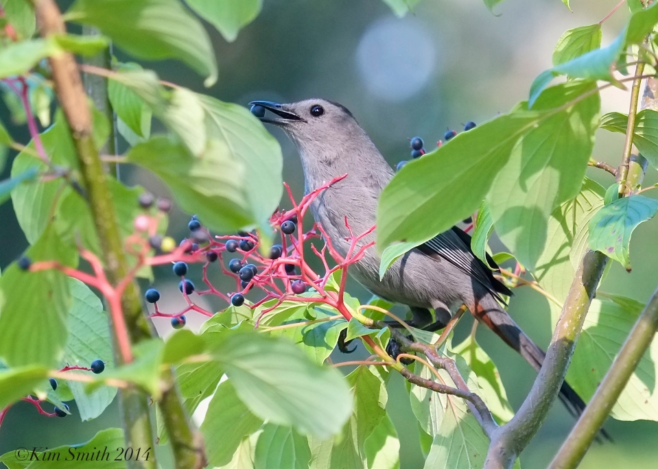Catbird eating Pagoda dogwwod fruits ©Kim Smith 2014.