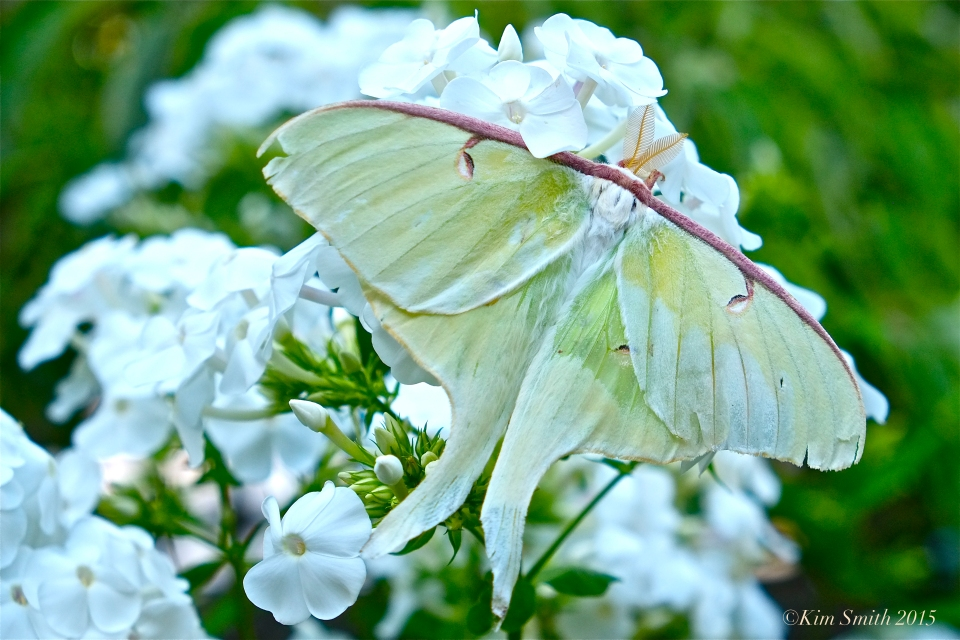 Luna Moth Phlox David
