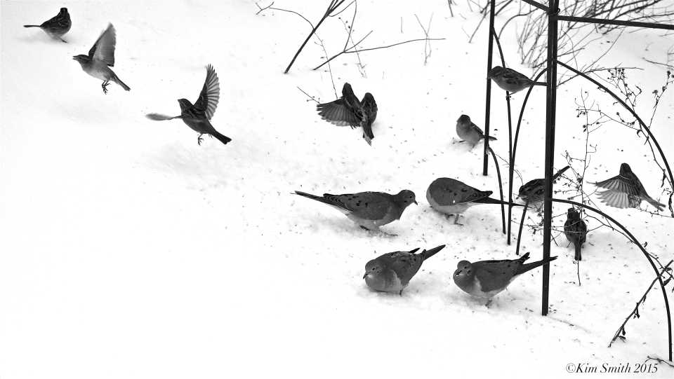 Sparrows and Doves b-w ©Kim Smith 2015
