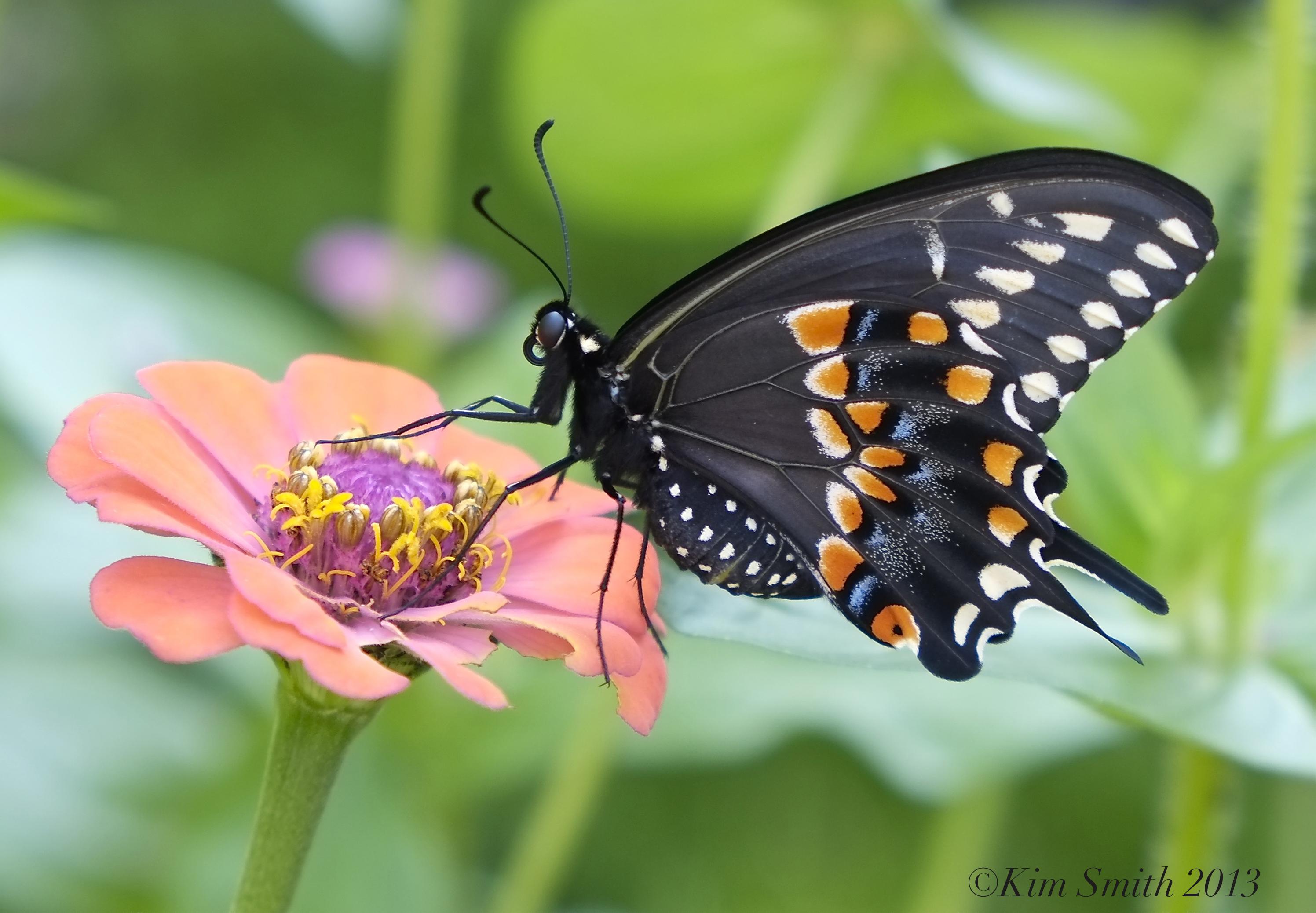36. Zinnia Black Swallowtail Butterfly -1 ©Kim Smith 2013 copy