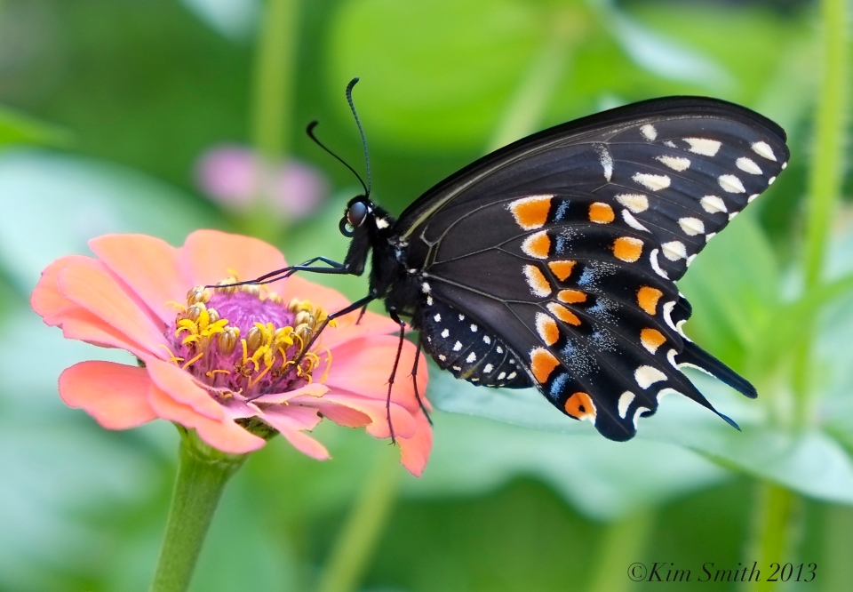 36. Zinnia Black Swallowtail Butterfly -1 ©Kim Smith 2013 copy