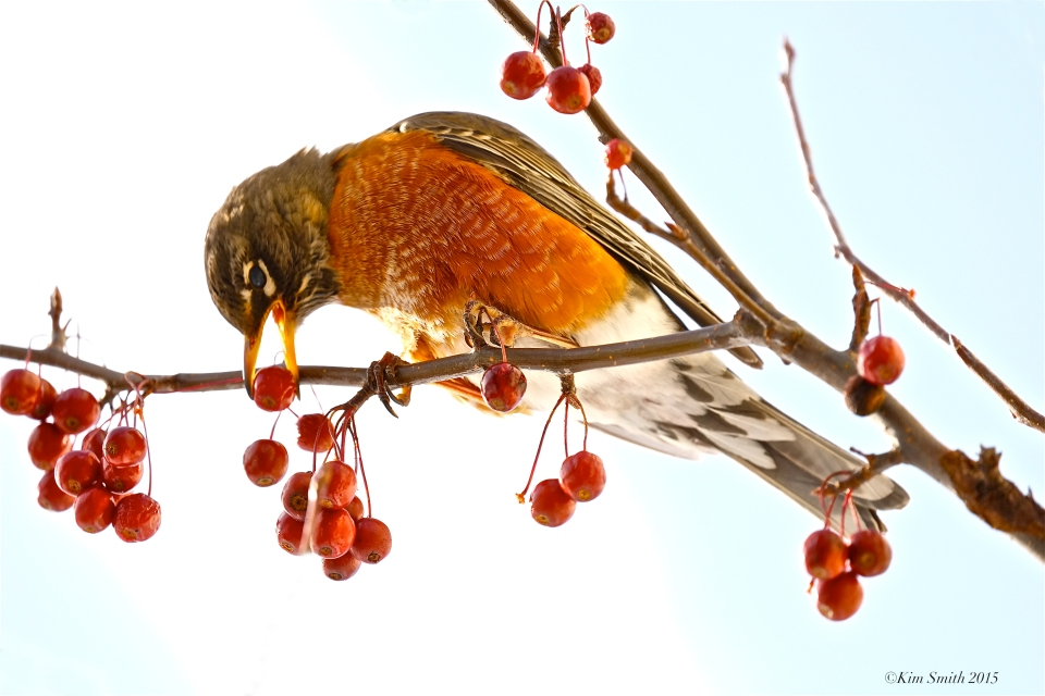 American Robin eating crabapples Massachusetts ©Kim Smith 2015