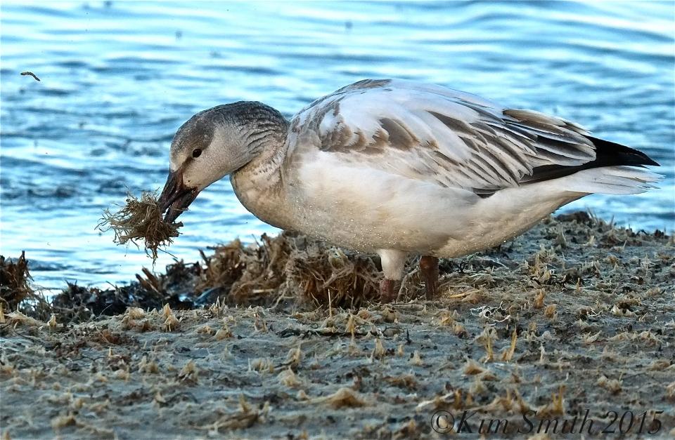 Snow Goose Juvenile Gloucester Massachusetts -2 ©Kim Smith 2015
