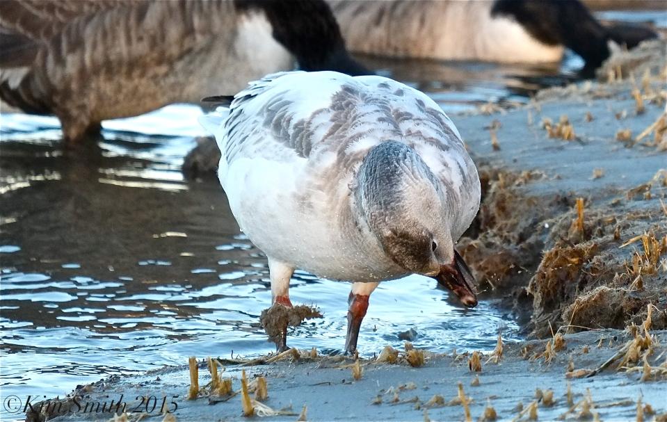 Snow Goose Juvenile Gloucester Massachusetts -3 ©Kim Smith 2015