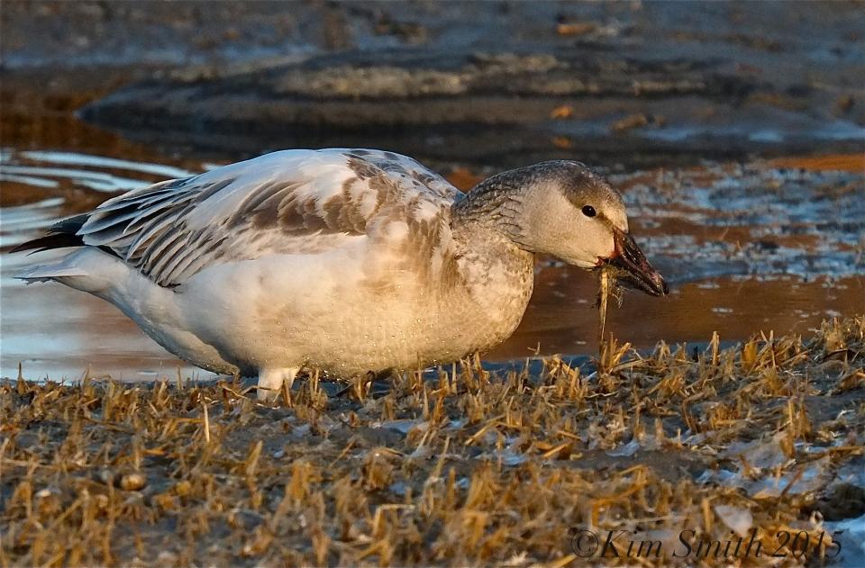 Snow Goose Juvenile Gloucester Massachusetts -5 ©Kim Smith 2015