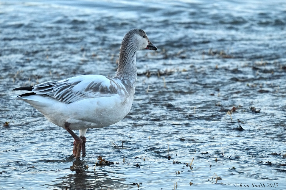 Snow Goose Juvenile Gloucester Massachusetts ©Kim Smith 2015