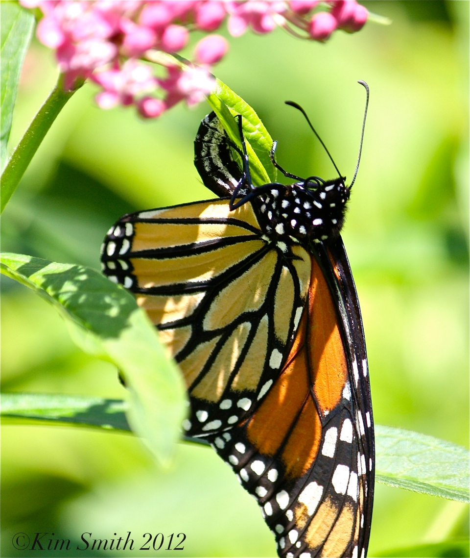 Monarch Butterfly depositing egg ©Kim Smith 2012
