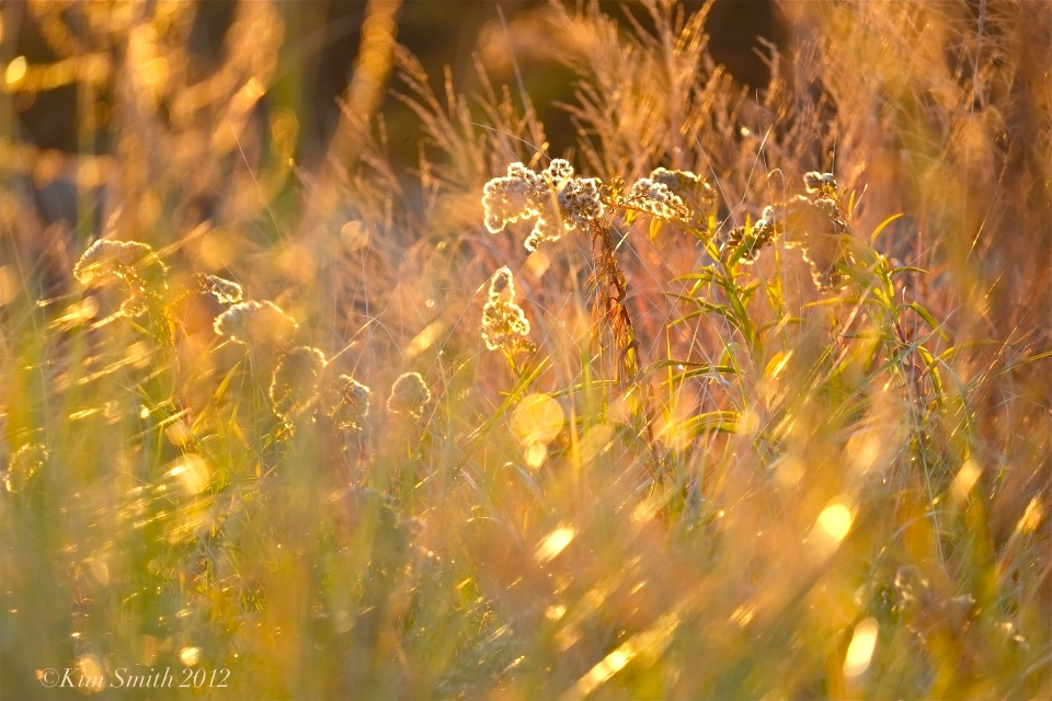 Seaside Goldenrod ©Kim Smith 2014 copy