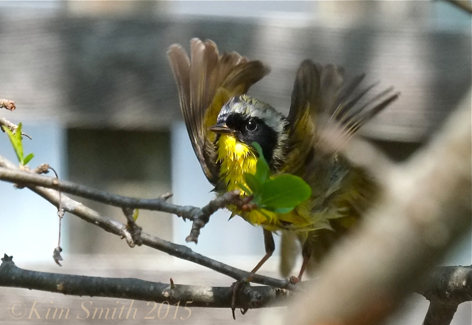 Common Yellowthroat Warbler ©Gloucester MA -2 ©Kim Smith 2015