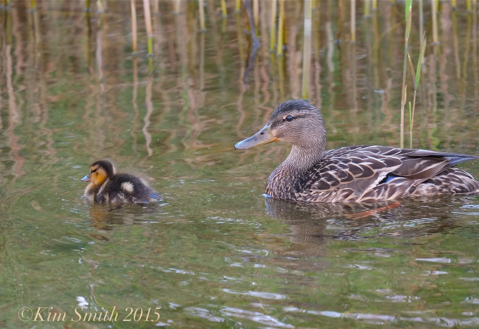 Female Mallard and Duckilng -1 ©Kim Smith 2015