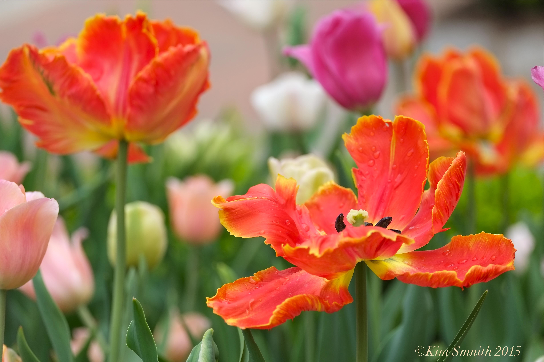 tulip garden mary prentiss inn cambridge 3 kim smith 2015