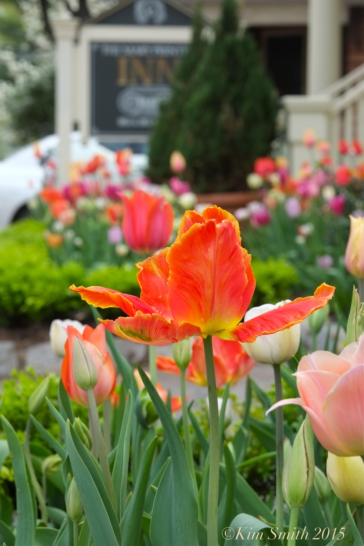 tulip garden mary prentiss inn cambridge 7 kim smith 2015