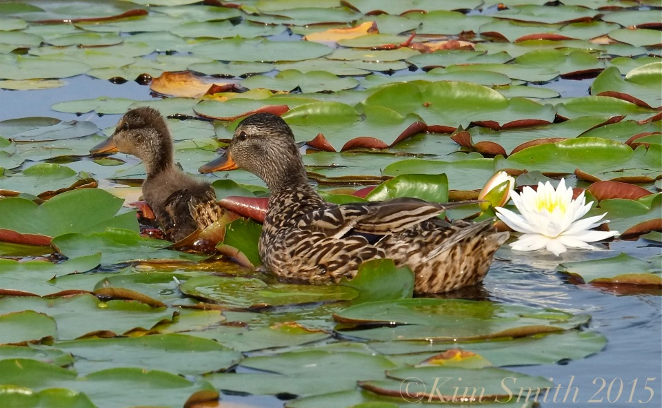 Niles Pond Duckling Gloucester ©Kim Smith 2015