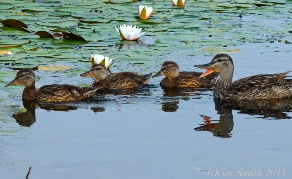 Niles Pond Ducklings -4 ©Kim Smith 2015
