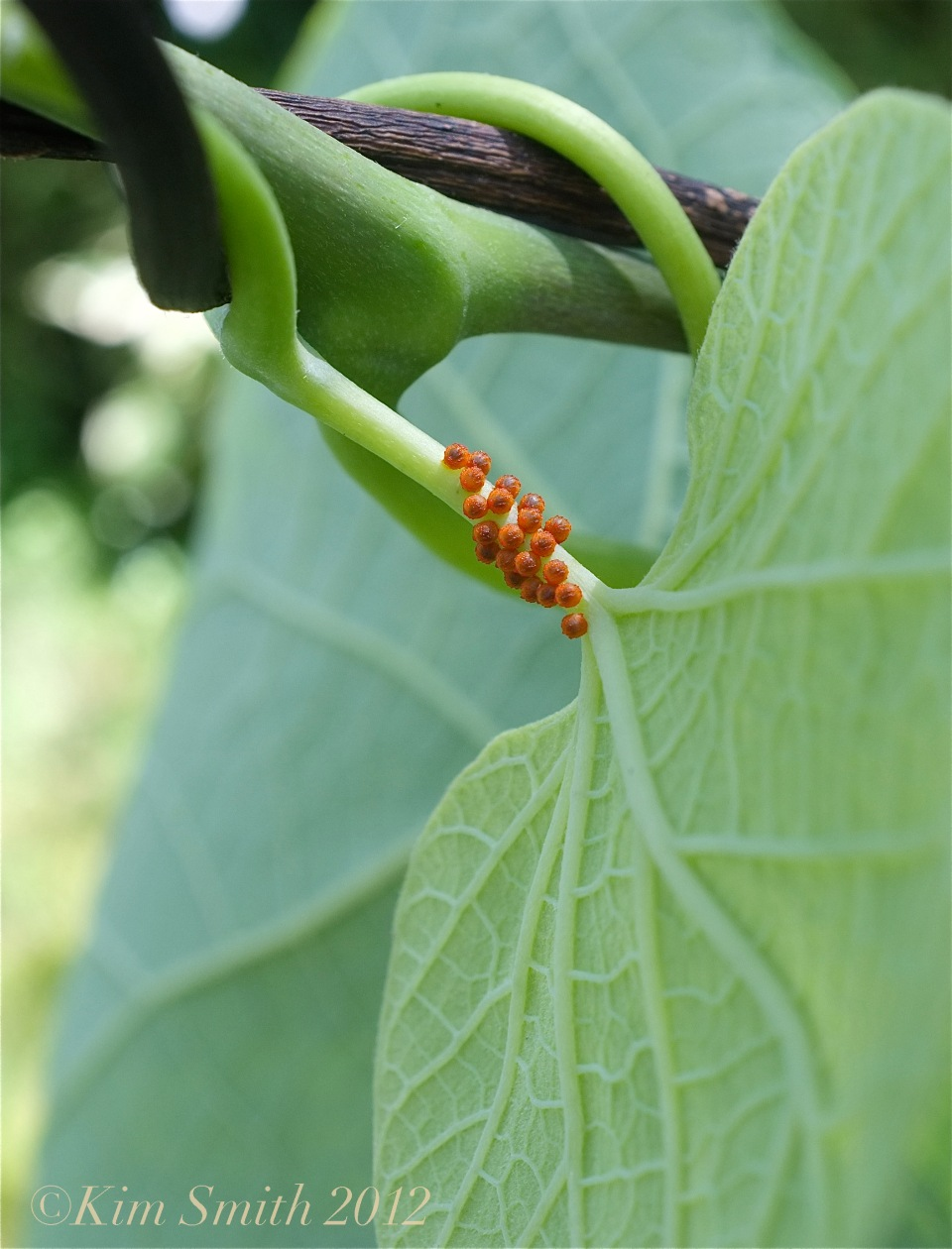 Pipevine Swallowtail Eggs ©Kim Smith 2012
