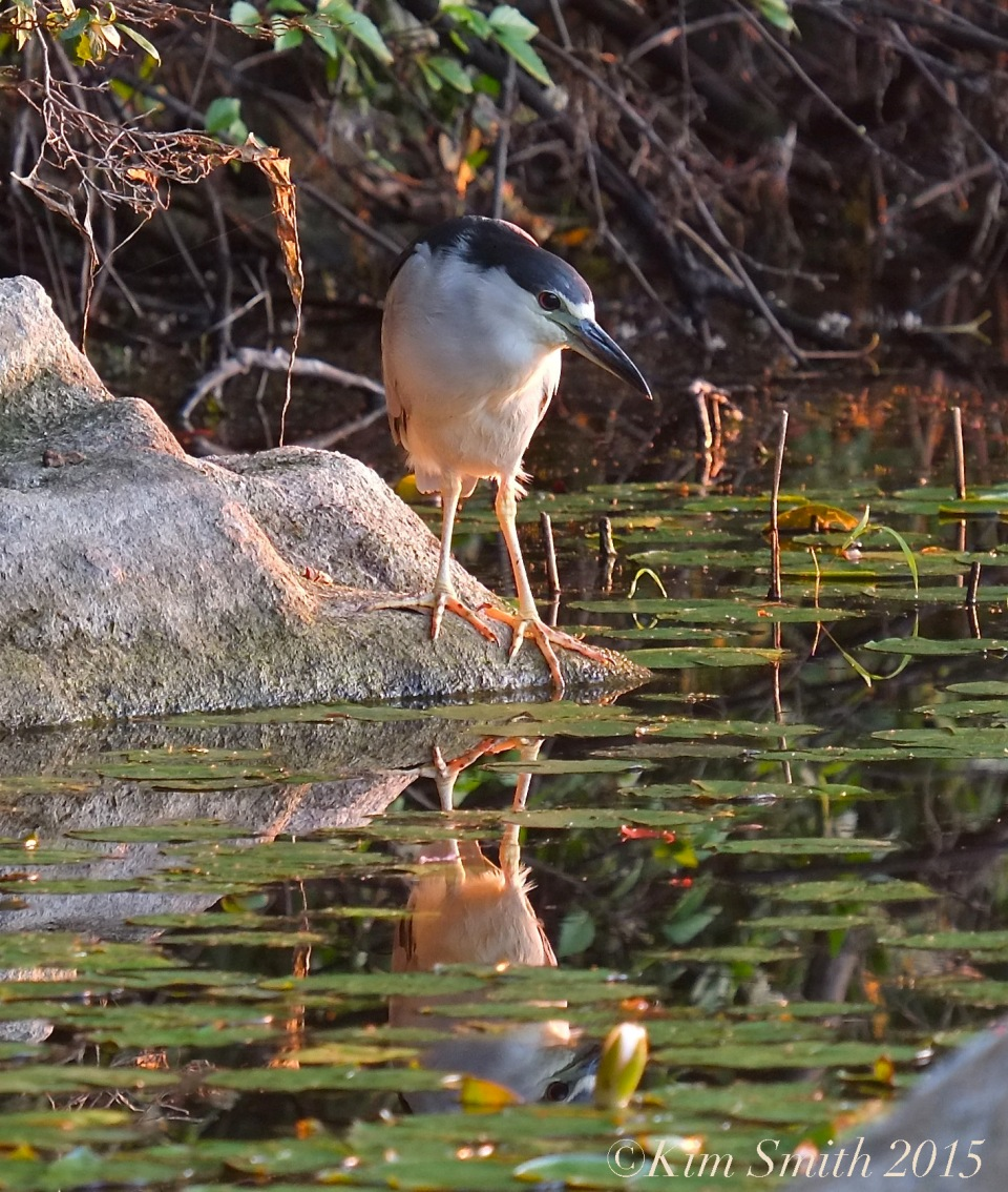 Black-crowned Night Heron Gloucester -4 ©Kim Smith 2015