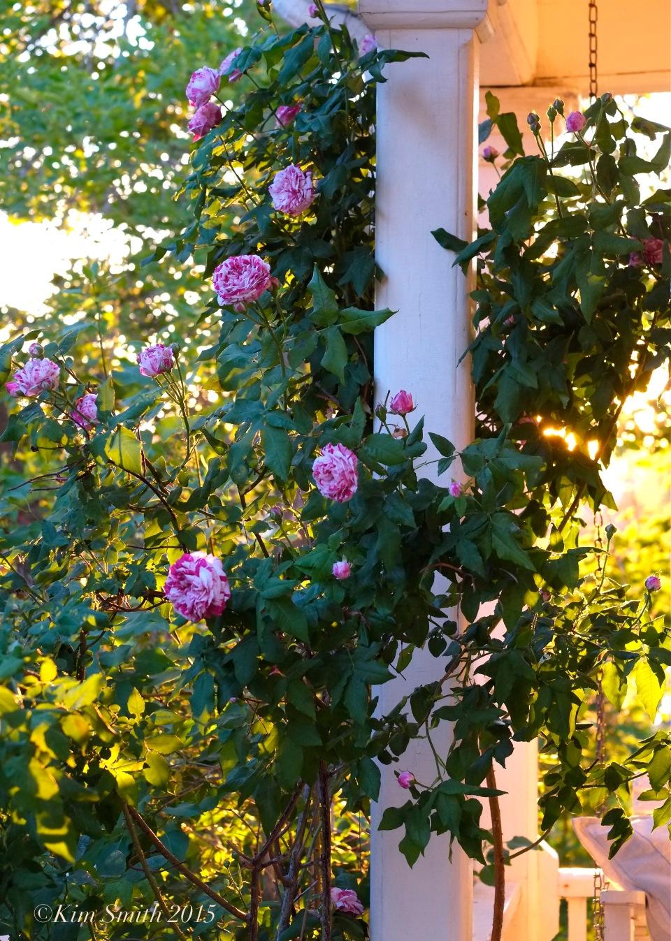 Bourbon Rose 'Variegata di Bologna'  Gloucester Garden ©Kim Smith 2015