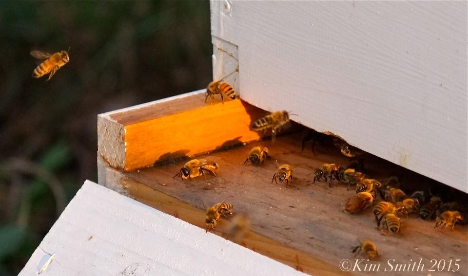 Honey Bees Cabot Farm Salem ©Kim Smith 2015