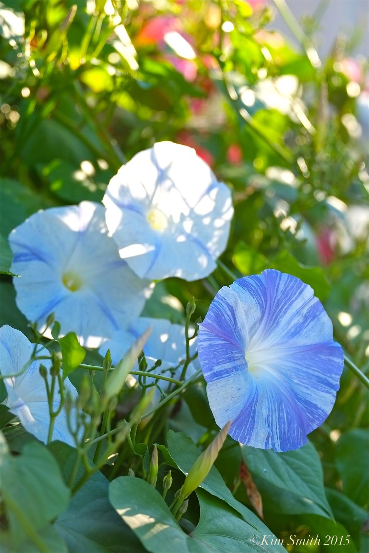 Morning Glory 'Blue Star' ©Kim Smith 2015