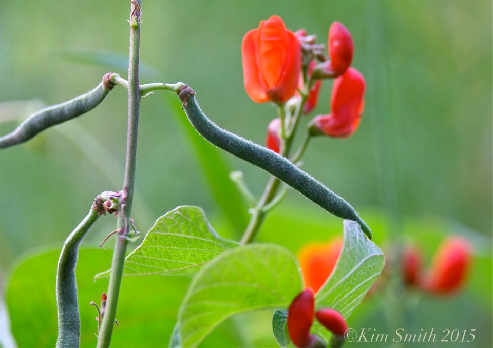 Scarlet runner Beans Cabot Farm Salem ©Kim Smith 2015