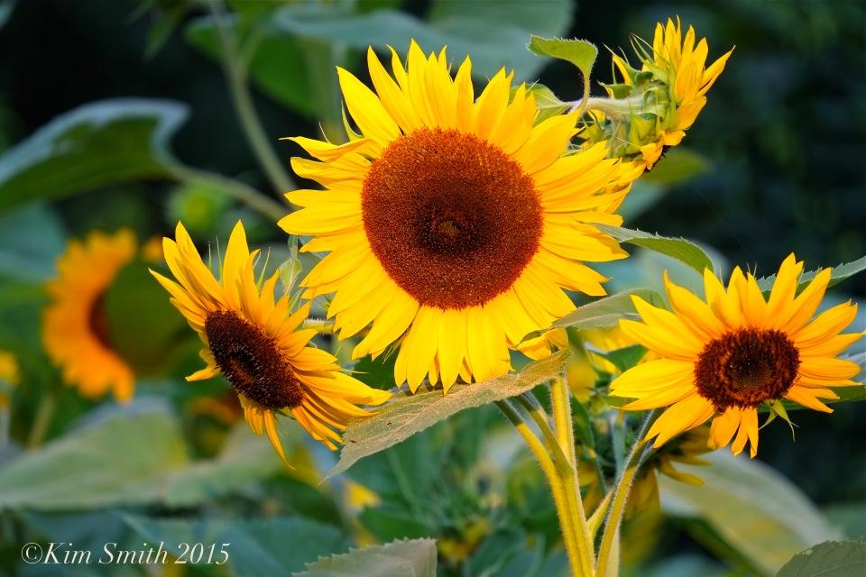 Sunflowers -2 Cabot Farm Salem ©Kim Smith 2015