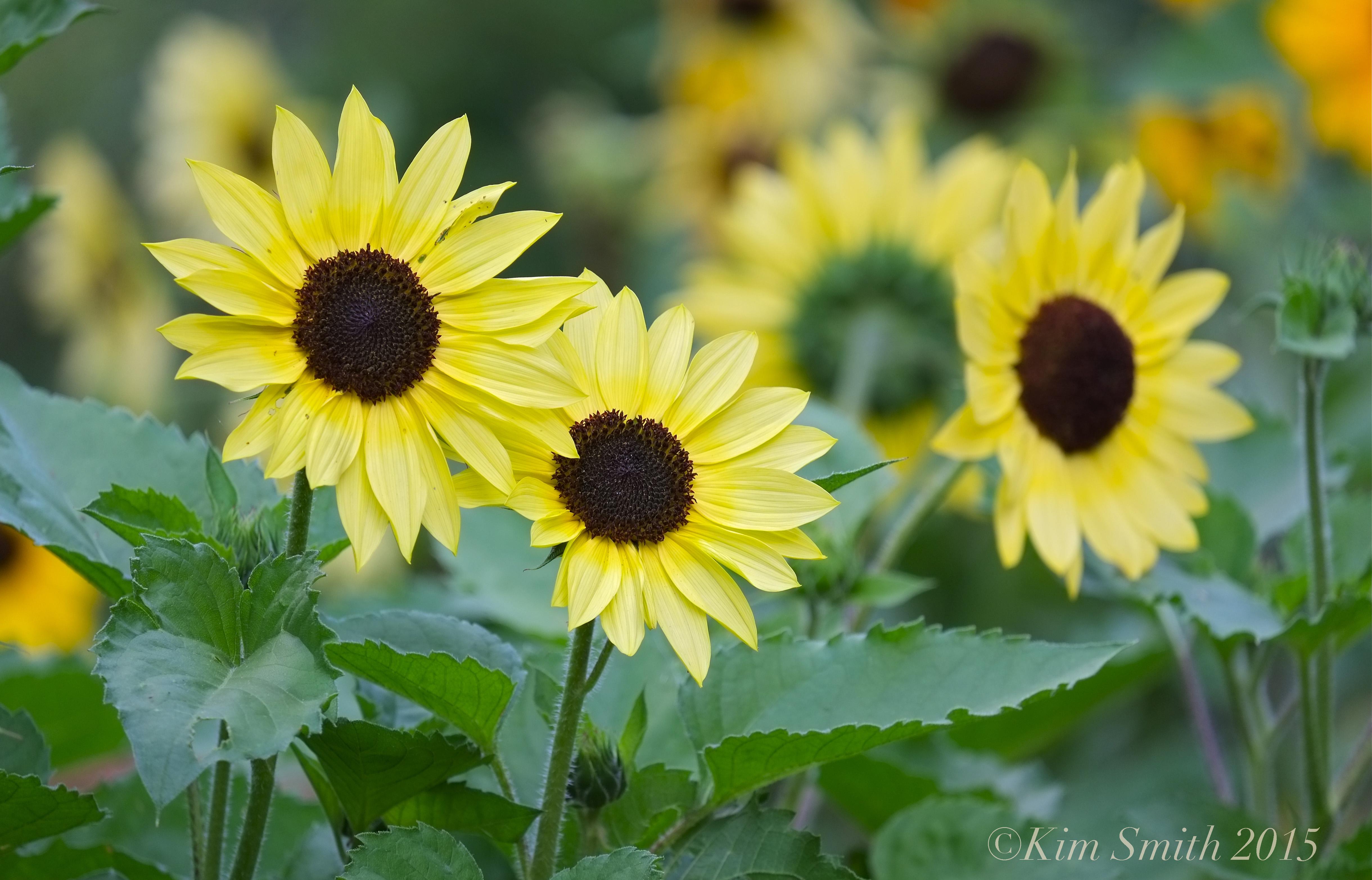 Sunflowers Cabot Farm Salem ©Kim Smith 2015