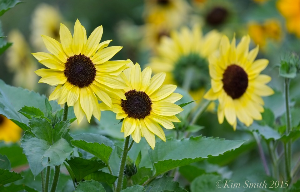 Sunflowers Cabot Farm Salem ©Kim Smith 2015