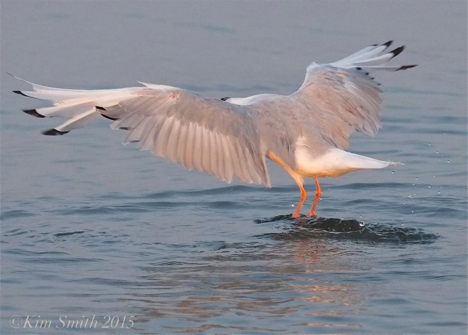 Bonaparte's Gull Massachusetts ©Kim Smith 2015