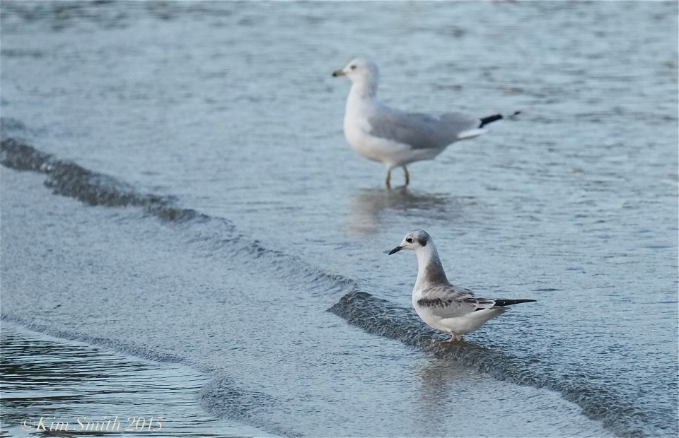 Bonaparte's Gull -Ring-backed Gull Massachusetts ©Kim Smith 2015