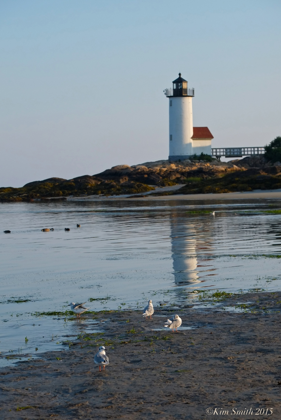 Bonaparte's Gulls Annisquam Lighthouse ©Kim Smith 2015