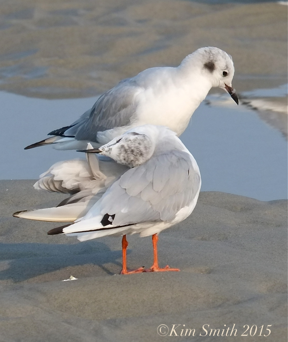 Bonaparte's Gulls Gloucester -2 ©Kim Smith 2015