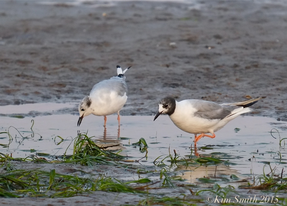 Bonaparte's Gulls Massachusetts ©Kim Smith 2015