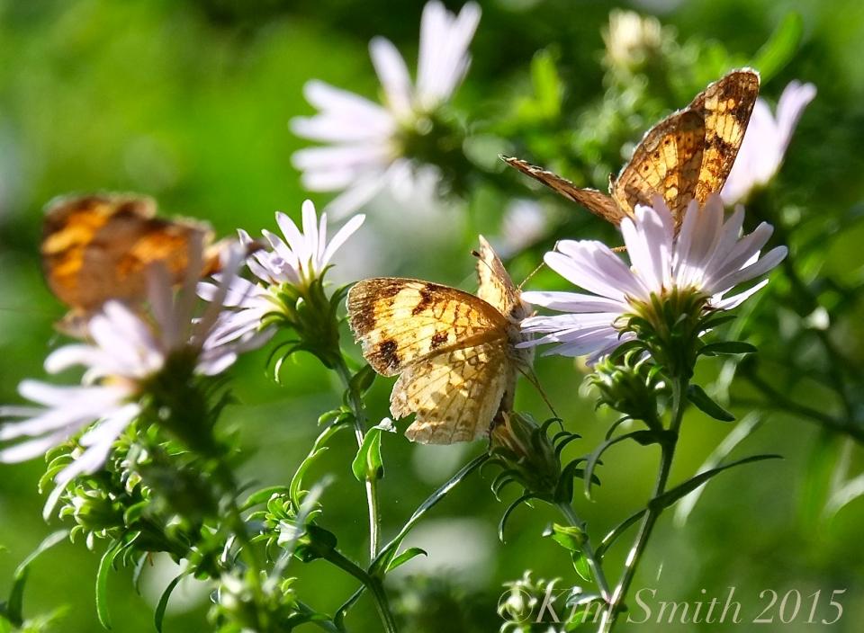 Crescent Butterflies ©Kim Smith 2015