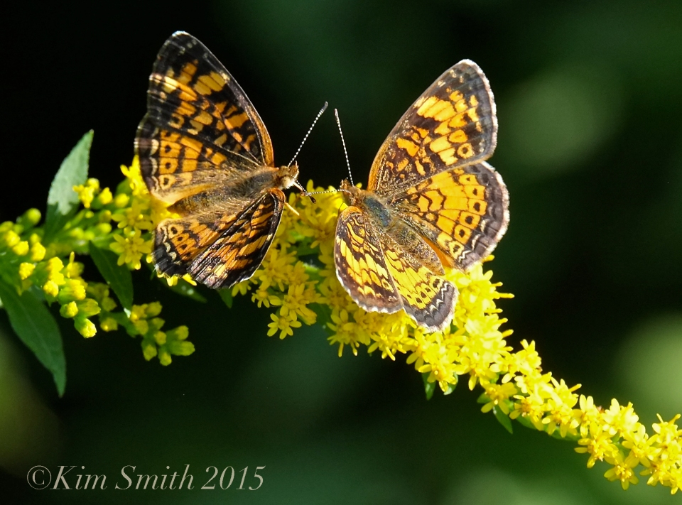 Pearl Crescent female left, male right ©Kim Smith 2015