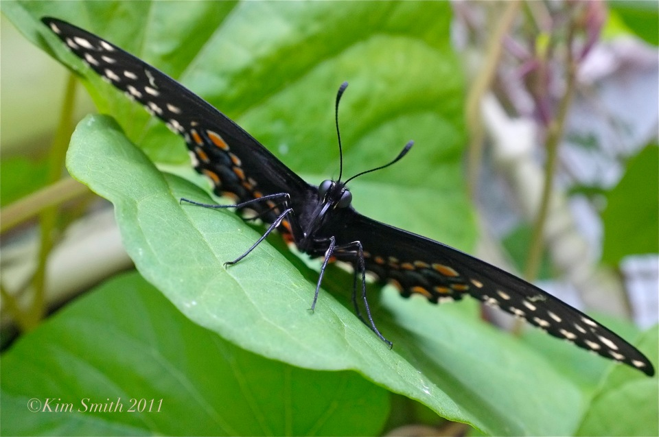 Black Swallowtail Butterfly angle ©Kim Smith 2011