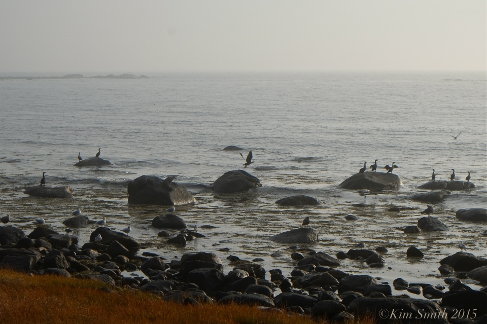 Brace cove seagulls cormorantsJPG